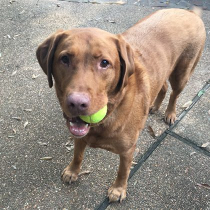 A brown labrador looking at the camera with a tennis ball in his mouth