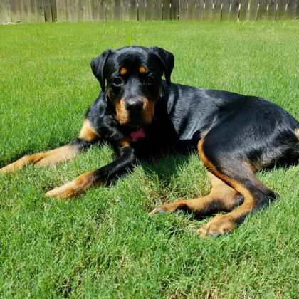 A large black and tan rottweiler laying in the green grass