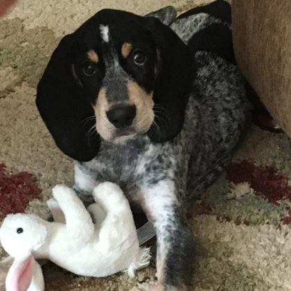 A black, grey and white puppy laying down in his house with a white rabbit stuffed animal