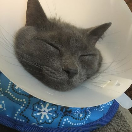 A grey cat sleeping and has a plastic cone around his neck