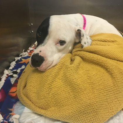 A white and black pitt bull named lulu recovering in a kennel after a femur fracture
