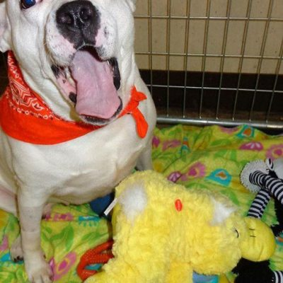 A white dog named Minnie yawning and wearing an orange bandanna. Minnie is sitting on a blanket next to some stuffed animals