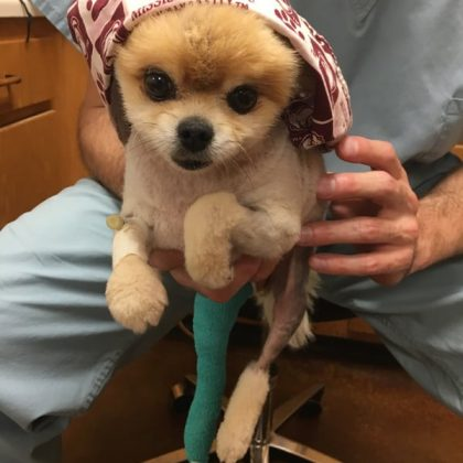 A tiny yellow Pomeranian whose body has been shaved for a procedure. The dog has a bandage oh his front leg and a cast on his back leg