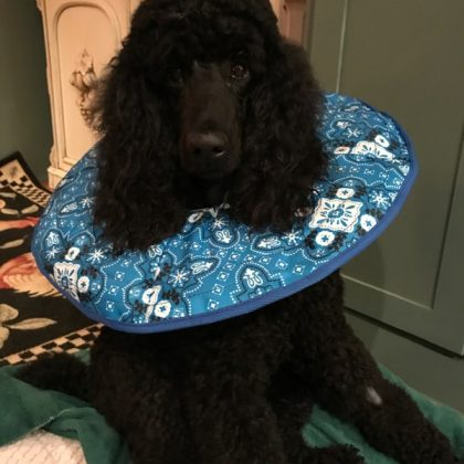 A large black poodle with a blue fabric cone around his neck