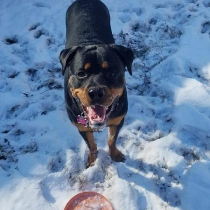 A black and tan Rottweiler playing in the snow