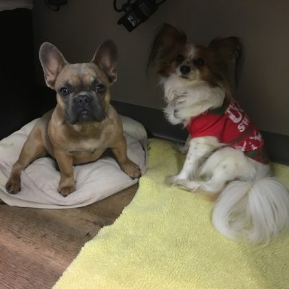 Two dogs sitting on a bed in the office. The dog on the left is a tan french bull dog and the dog on the right is a brown and white Papillion